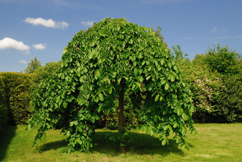 Weeping Mulberry Tree Hello Hello Plants Amp Garden Supplies