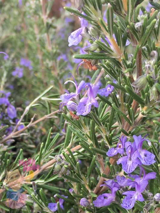 Rosemary Blue Lagoon