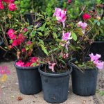 "Assorted Azalea 7"" Pot (2nd's Grade/Imperfect)"