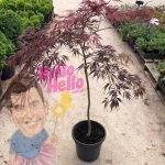 Japanese Maple 10inch pot In Store @ Hello Hello Plants