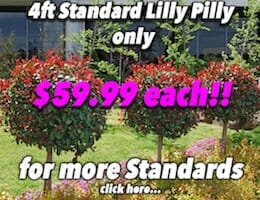 4ft Std Lilly Pilly Button Pic copy