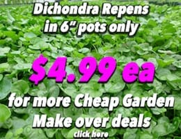 Dichondra Button Pic copy