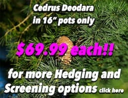 Cedrus Deodara Button Pic copy
