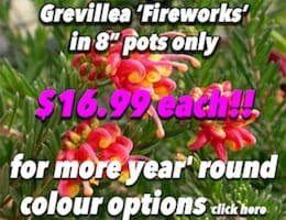 Grivillea Fireworks Button Pic copy