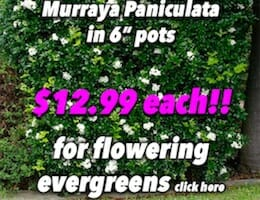Murraya Paniculata Button Pic $12.99 copy