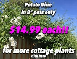 Potato Vine Button Pic copy
