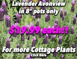 Lavendar Avonview Button Pic copy