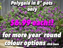 Polygala Button Pic copy