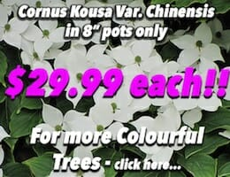 Cornus Kousa Var. Chinensis Button Pic copy