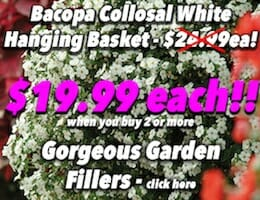 Bacopa Collosal White Hanging Basket Button Pic copy