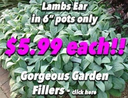 Lambs Ear Button Pic copy