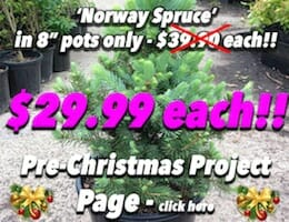 Picea Abies 'Norway Spruce' Button Pic copy