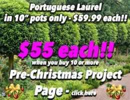 Portuguese Laurel Pre XMAS Button Pic Bulk Buy copy 2