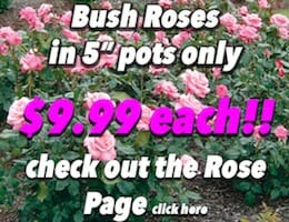 Roses Bush Button Pic copy