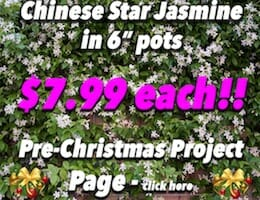 Star Jasmine Pre XMAS Button Pic copy