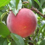 Red Noonan Peach