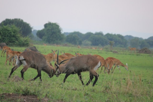 Safari in Queen Elizabeth National Park, Uganda