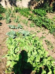 kitchen garden 2