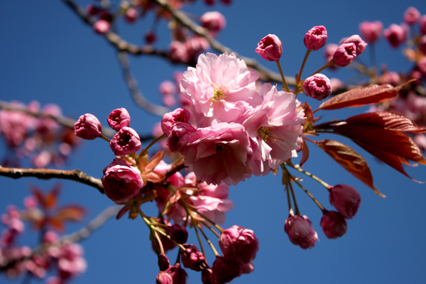 flowers_pink_blossom
