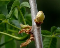 California Buckeye Bud