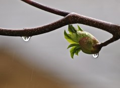 California Buckeye Bud and Raindrop
