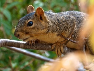Fox Squirrel in California Buckeye Tree