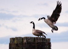 Canada Geese Seattle