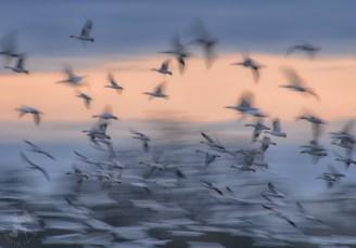 Snow Geese in Flight Skagit Valley