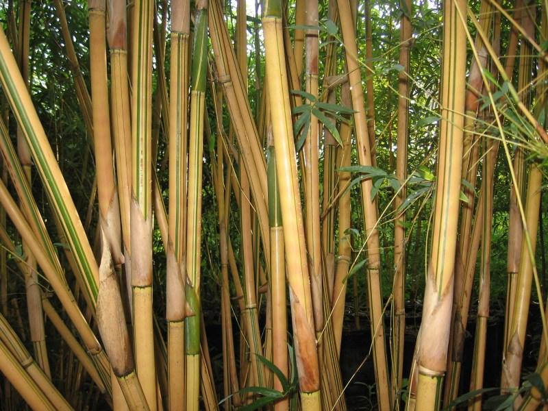 Large Of Alphonse Karr Bamboo