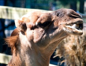 Guess what day it is? It's ZOO DAY!!! Visit the Cape May Zoo at the Jersey shore! It's FREE! | Find out more at www.thingstodonewjersey.com | #nj #newjersey #capemay #jerseyshore #zoo #zoos #free #familyfriendly #thingstodo #daytrips #fieldtrips #kids #animals #camel #humpday