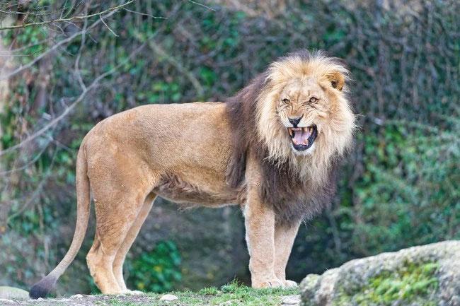 2_lions_save