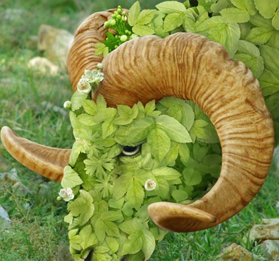 goatgrass