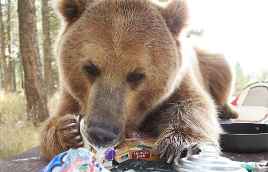 bear-nom-nom