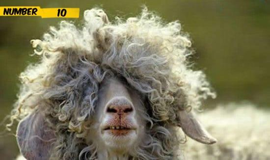 emo-goat