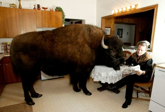 the largest pet ever buffalo bailey jr