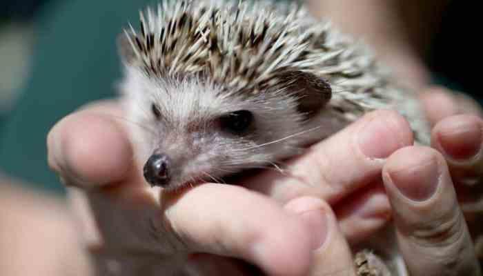5 Fair Reasons to Get a Hedgehog Pet3