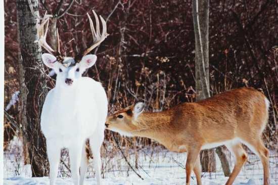 White-Brown-Deer-Photograph