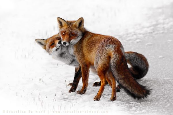 Amazing Facts About Foxes - Bought As Pets