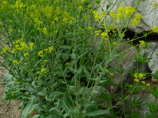 Woad blooming in dye garden
