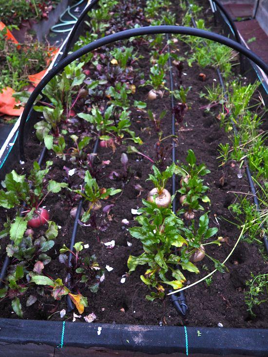 Planting garlic between root crops