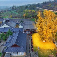 1400 Year Old Ginkgo Tree's Annual Leaf Drop