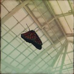 Monarch - Conservatory of Flowers