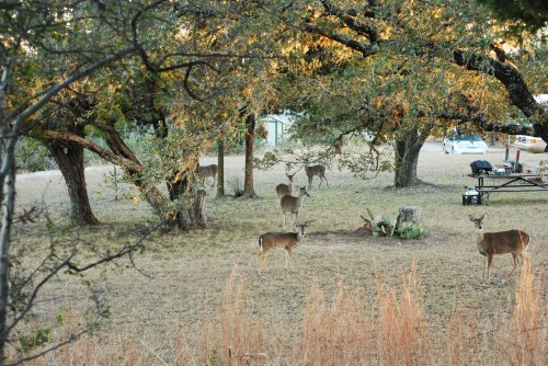 Deer at campground