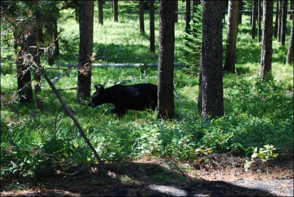 Black Bear at Signal Mountain