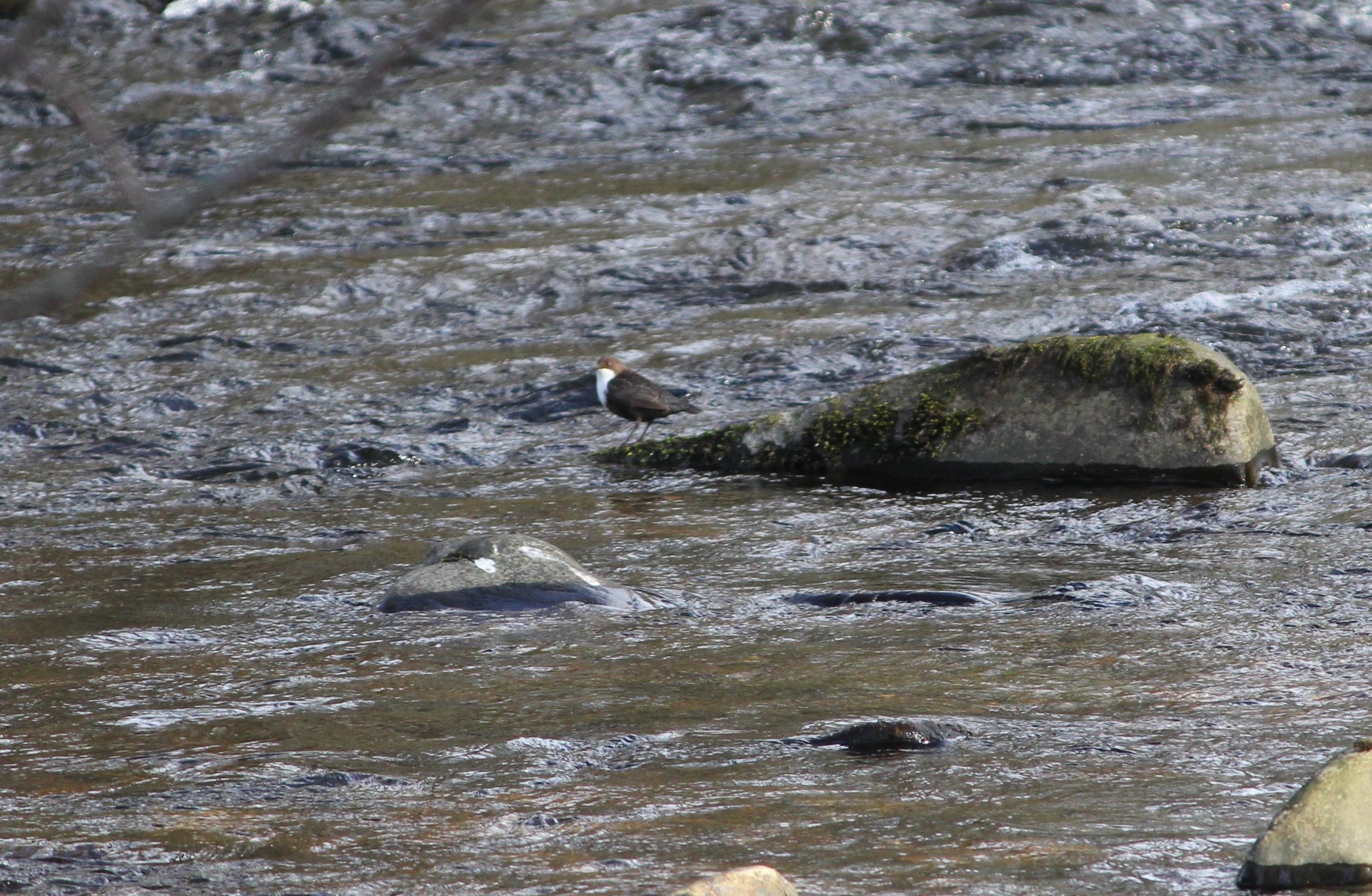 Dipper on the River Livet