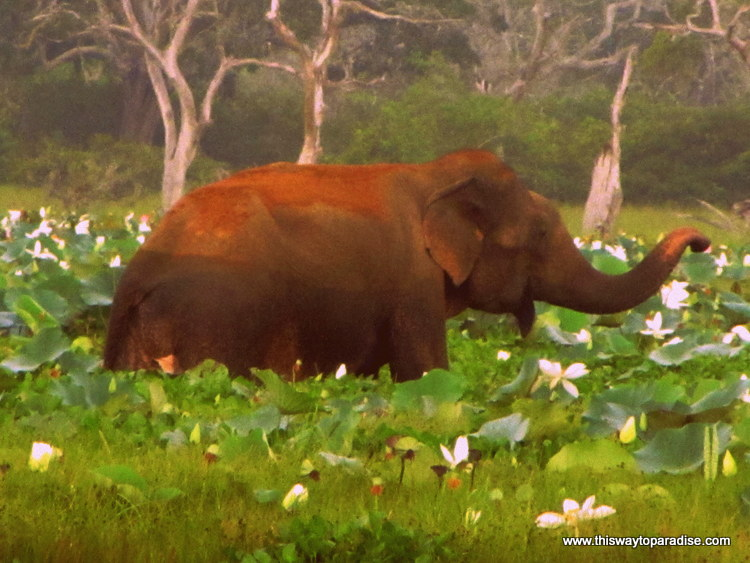 Elephant in Yala Park, Sri Lanka