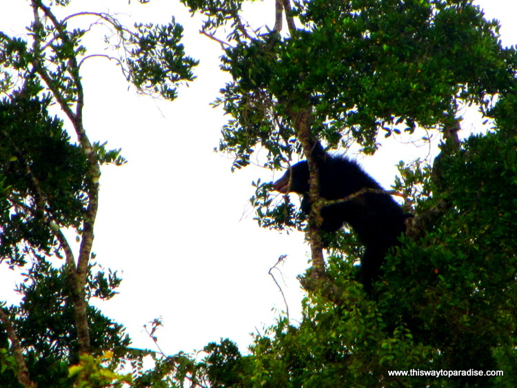 Sloth Bear,  Yala National Park, Sri Lanka