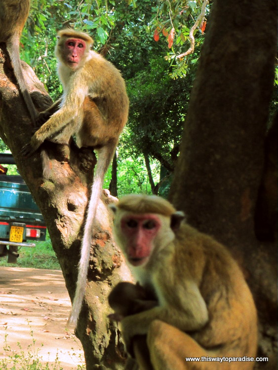 Monkeys in Yala Park