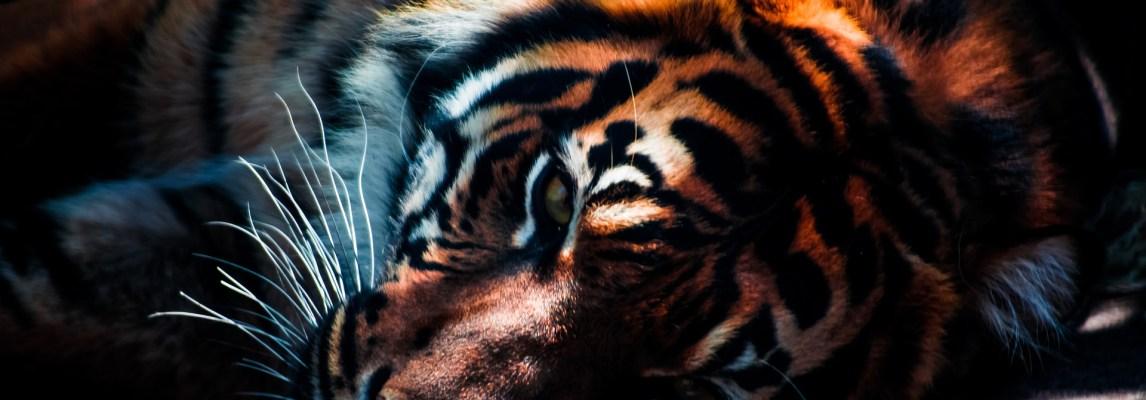 A Tamed Tiger Is Still a Tiger