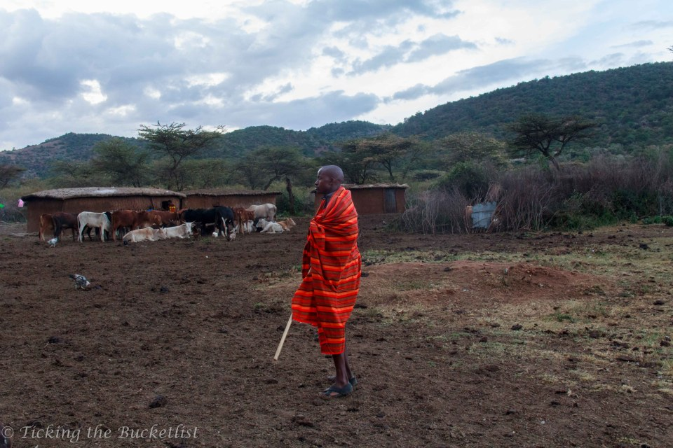 Young Maasai warrior with his cattle in the background